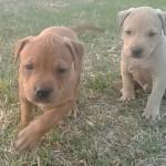 Pitbull terrier ADBA